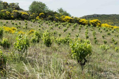 Idée Cadeau Domaine Grand Guihlem - la vigne