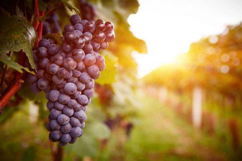 Idée Cadeau Domaine de la Queyssie Saussignac - grappe de raisin